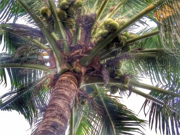 nun jauh di sana - Coco & Nut = Coconut Palm Treetree] Coconut Trees Coconut Tree Coconuttree Kelapa Kelapagading Kelapagading Nyor Kampung Kampunglife Kampunghalaman Kampungku Kampung Halaman Perlis Malaysia Tree Low Angle View Tree Trunk Growth No People Nature Outdoors Beauty In Nature Day Sky