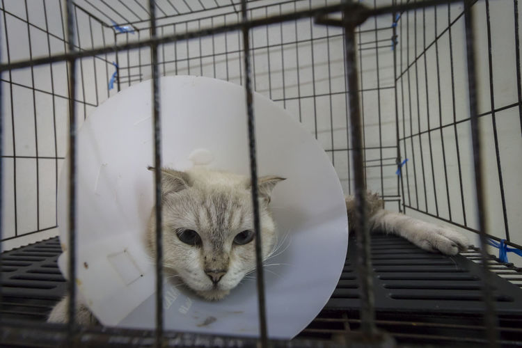 What do you think about my e-collar, hooman? Elizabethan Collar Persian Cat  Animal Themes Buster Collar Cage Cat Close-up Domestic Animals Domestic Cat E-collar Feline Fluffy Furry Indoors  Mammal One Animal Pet Cone Pets Veterinary Clinic White