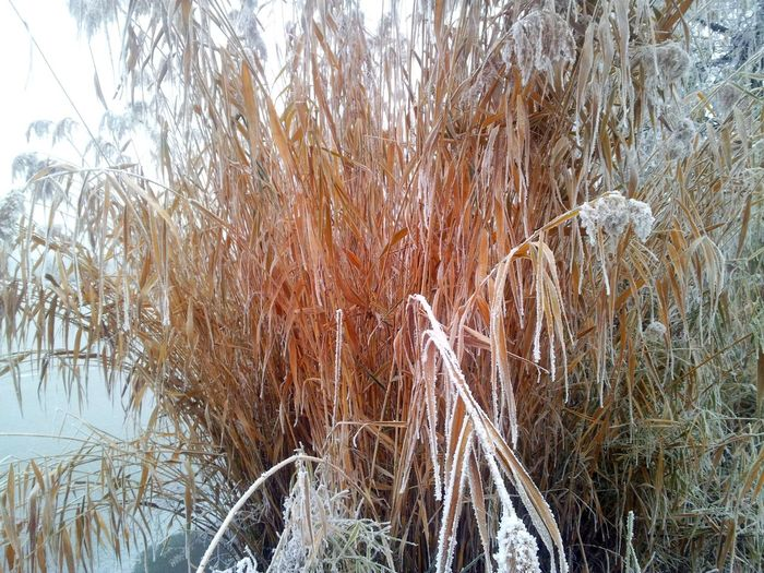 Winter reeds Beauty In Nature Close-up Day Growth Nature No People Outdoors Reed Water Winter