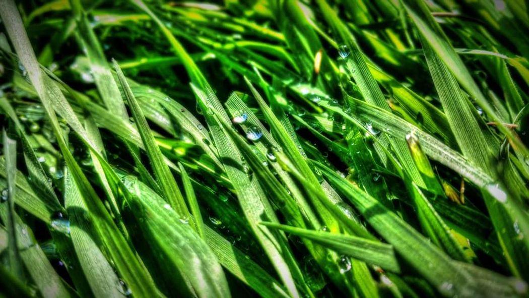 Grass Green Leaf Leaves Green Green Green!  Green Green Grass Of Home Dew Dew Drops Morning Novisad Serbia Walt Whitman