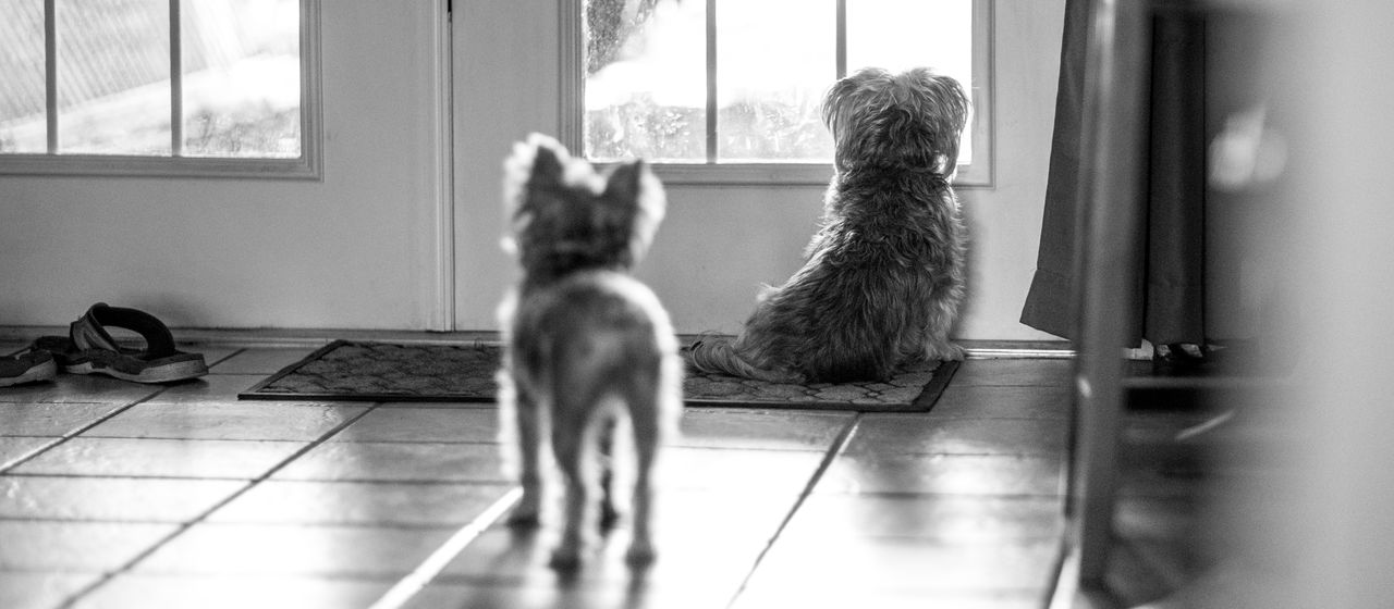 Comfort of pets Dog In The Window Home Waiting Animal Themes Best Friend Day Domestic Animals Indoors  Maltese Mammal Pets Yorkie EyeEmNewHere Black And White Friday
