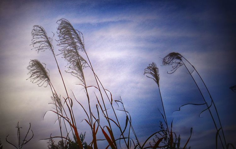 🌾 Japanesepampasgrass Autumn Pampas Grass Japan EyeEm Nature Lover LoveNature Sky Lumixlife Lumix Gf7 Mylife Nature Nature_collection