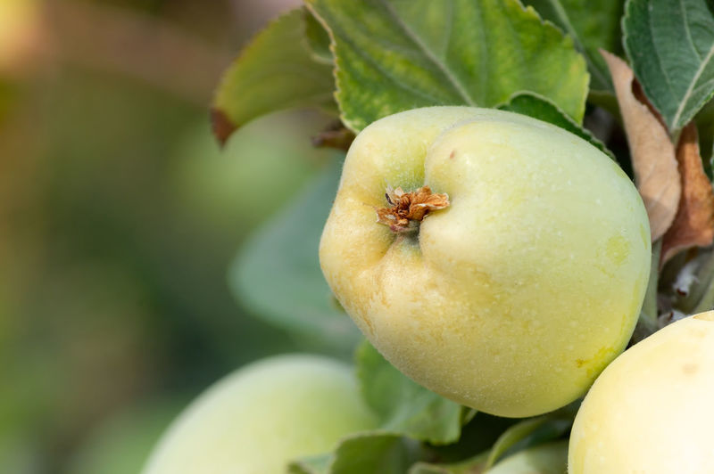 Apple Apple Apple - Fruit Close-up Focus On Foreground Food Freshness Fruit Green Color Growth Healthy Eating Leaf Nature Plant Plant Part Selective Focus Wellbeing