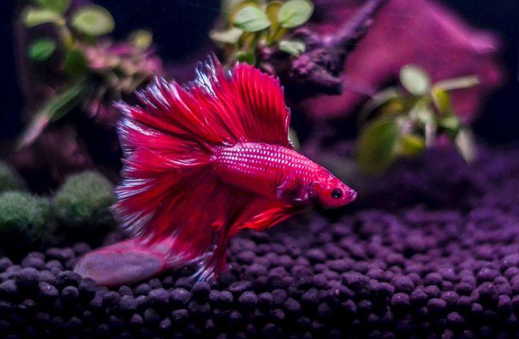 Betta Fish Beauty In Nature Close-up Bettafish Bettacommunity Bettasofinstagram Bettasiamesefish Betta Red Bettasplendens Betta Lovers