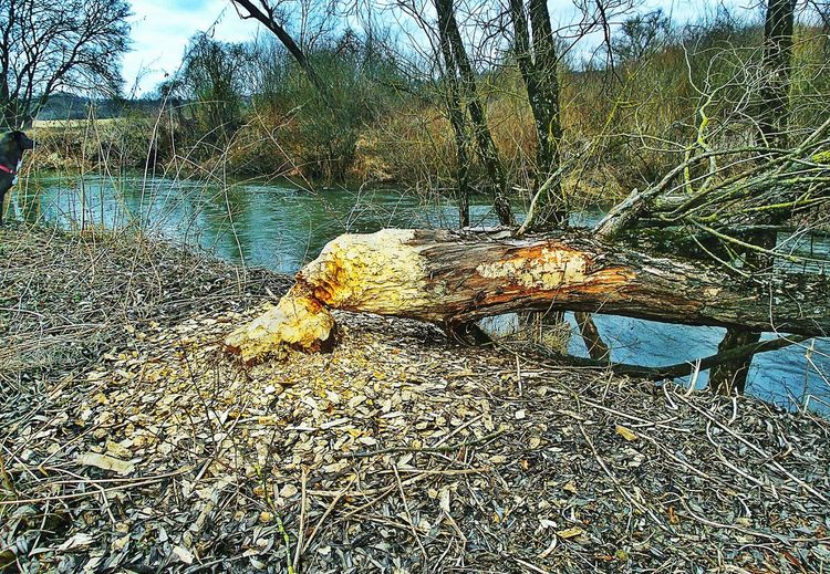 Beavers Job or Vegetarians? Creek Life Tree Trunk Tree Tree Branches Branches And Twigs Pure Nature River Bank  River Bank  Dog Sneaking Into The Picture Dog Walking Pets Of Eyeem Close-up Water Textured  Nature Day Outdoors No People Kinzig River Langenselbold Germany🇩🇪