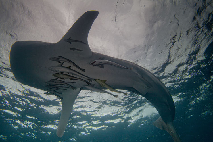 Low Angle View Of Whale Shark Swimming Underwater