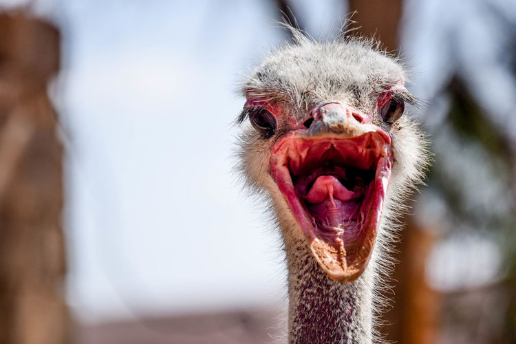 Animal Animal Body Part Animal Eye Animal Hair Animal Head  Animal Mouth Animal Themes Animal Wildlife Animals In The Wild Beak Bird Close-up Day Focus On Foreground Mammal Mouth Mouth Open No People One Animal Ostrich Outdoors Portrait Primate Vertebrate
