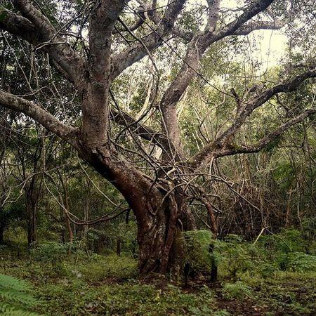 Woods @ponrajanvikram Nature Tree Treetrunk Green Woods Forest Ponrajanvikram India Halvat Instaclick Instamood Instadaily Instatravel Insta