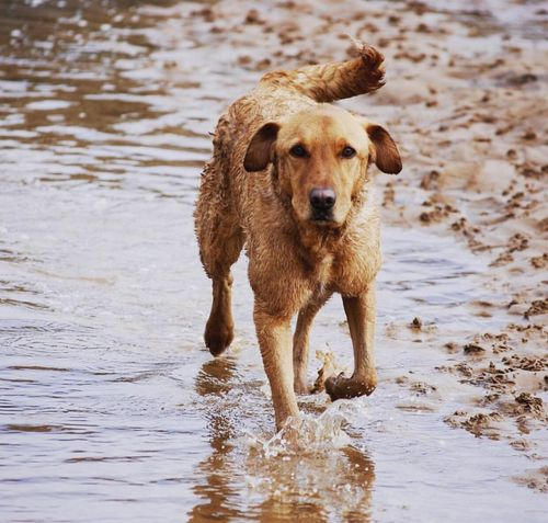 Bonzo @bonzosworld Instagram Dog Pets One Animal Water Wet Domestic Animals Animal Themes Mammal Retriever Golden Retriever Outdoors Playing Beach No People Day Nature Red Lab Labrador Retriever Labrador Lab