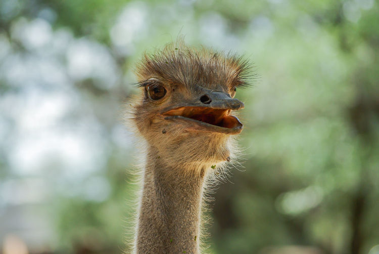 Head up African Animals Beak FUNNY ANIMALS Funny Green Color HEAD Namibia Ostrich Ostrich Face Ostriches Wildlife & Nature Africa Bird Curious Curious Animals Funny Faces Hairy Face Ostrich Head Portrait Wildlife