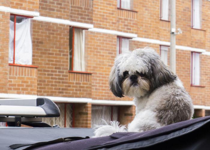 Cute dog on car hood against building