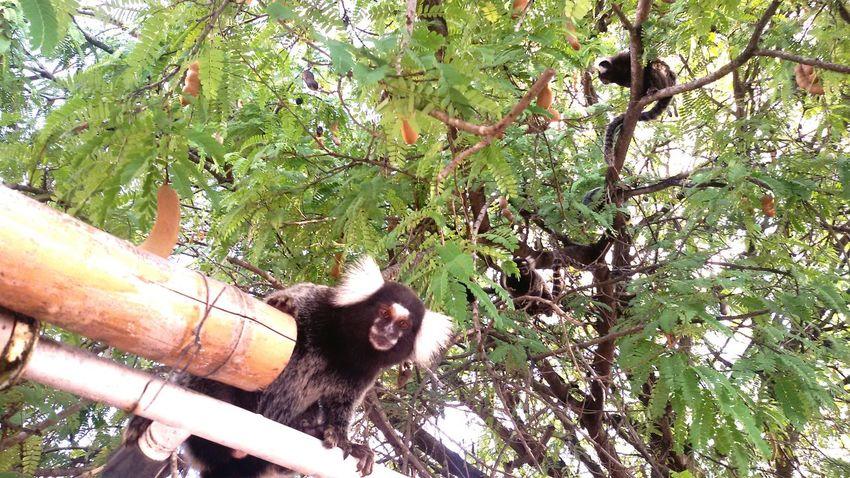 Marmoset Family Marmoset Monkey Marmoset Tree Nature Animal Photography Animals Brasil Mammals