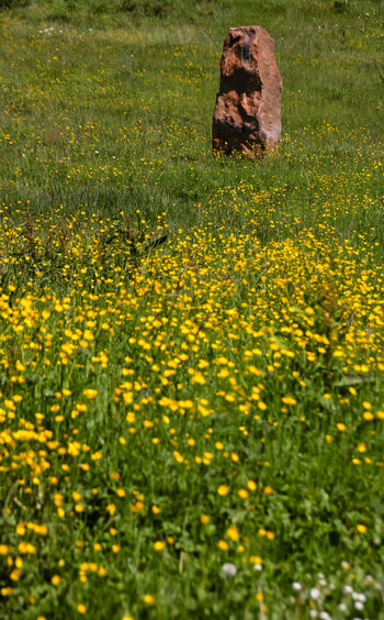 Flower Field Beauty In Nature Day Field Flower Flowerbed Flowering Plant Freshness Grass Green Color Growth Land Landscape Nature No People Outdoors Plant Rural Scene Scenics - Nature Springtime Standing Stone Tranquility Yellow