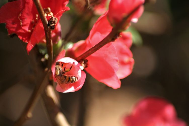 Flower Close-up Flowering Plant Beauty In Nature Animal Themes Animal Red Bee Pollination Pollen Animal Wildlife