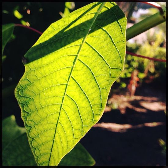 Leaf Leaf Vein Plant Close-up Green Color Nature Focus On Foreground Outdoors Fragility No People Insect Butterfly - Insect Day Beauty In Nature
