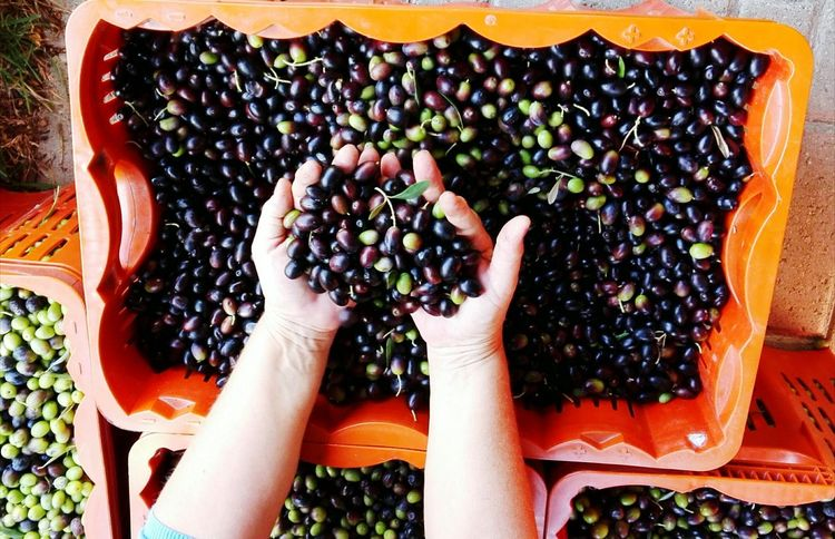 Human Body Part Human Hand One Person Fruit Food And Drink Healthy Eating Adult Lifestyles Freshness Ready With Harvest Only Women Real People Food One Woman Only Day Tree Outdoors Close-up Nature Olives Olive Harvest Olive Harvesting EyeEmBestPics EyeEm Nature Lover Be. Ready.