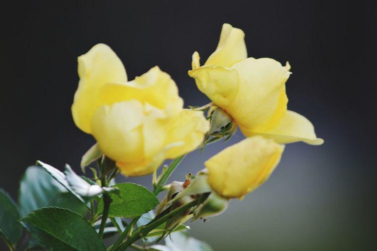 #lephotographedu04 #Nature  #flowers #blomster #macro #macrophotography #macronature #frenchphotography Flower Flower Head Black Background Yellow Studio Shot Petal Close-up