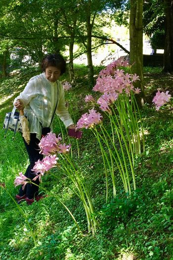 Subject: A Number of Full-Blown Pink Flowers of Licorice and a Woman Who Was Trying Not to Slip and Fall on the Earth. Plant Flower Licorice Nature Tree One Person One Woman Only Adult Outdoors Beauty In Nature Full Length Day Freshness . Taken in Higashi-Hiroshima , Japan on Aug. 13, 2017 ( Submitted on Aug. 20, 2017 )