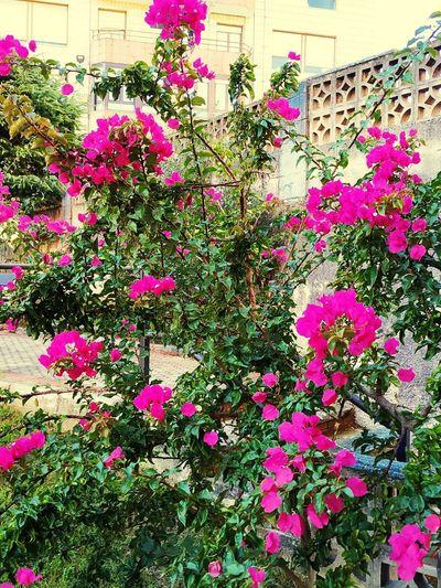 Pink flowering plants against wall