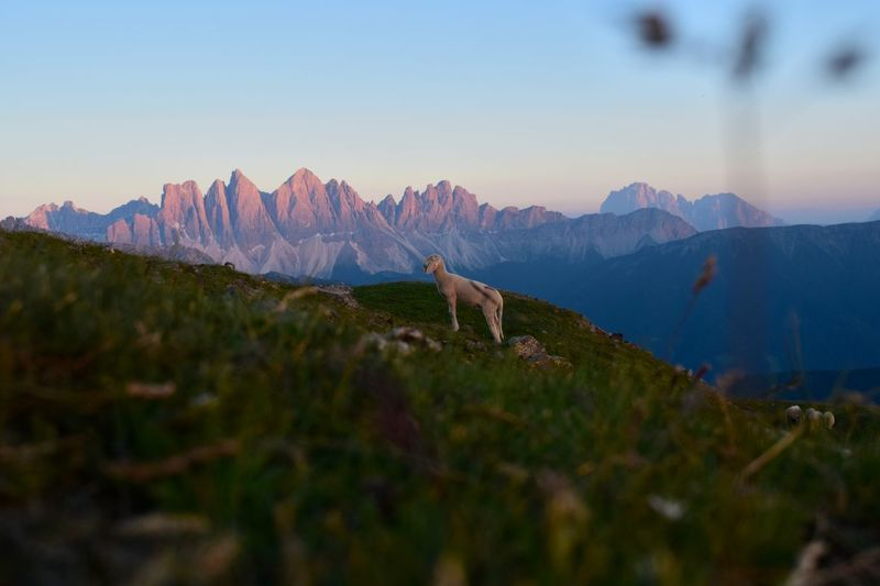 Dennis Gruber. Beautiful sunset in the alps. Animal Themes Beauty In Nature Clear Sky Day Domestic Animals Grass Grass Area Grassland Mammal Mountain Mountain Range Nature No People Outdoors Peak Red Mountain Redmountains Scenics Sheep Sheep🐑 Sky Sunset Sunset_collection Tranquil Scene Tranquility