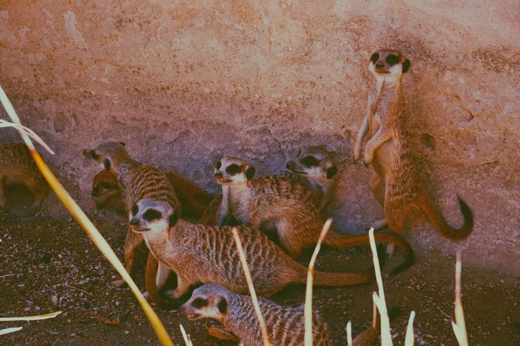 Cuddles Family Meerkats Standing Meerkats Animal Planet Animal Animal Themes No People Animal Wildlife Animals In The Wild Day Group Of Animals Mammal Close-up Nature