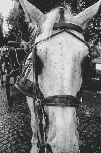 Cheval Blanc Calèche Blackandwhite Black And White Black & White Blackandwhite Photography