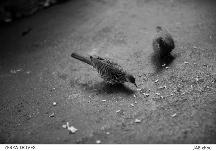 Bird Bird Photography Birds_collection Blackandwhite Black And White Blackandwhite Photography Zebradove Birds Of EyeEm