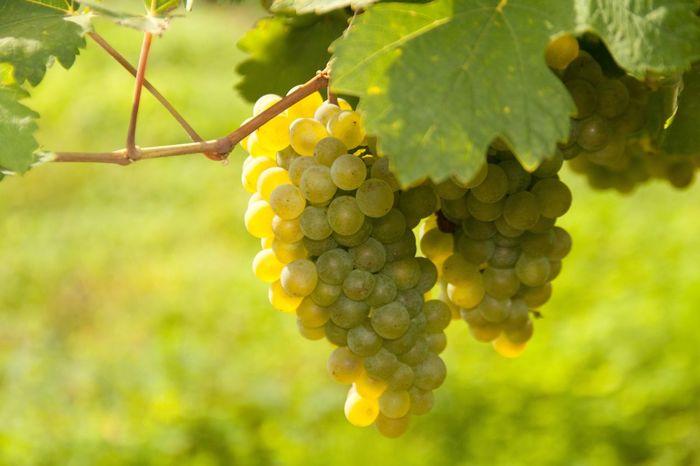 Austria Drink Grapes 🍇 Nature Ready To Pick Vineyard White Wine Wine