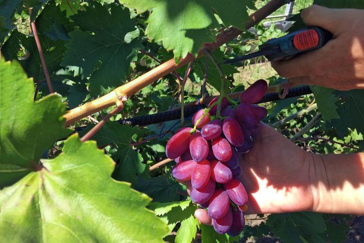 Wine harvest -