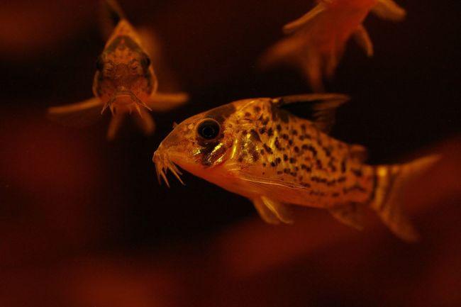 Corydoras melanistius Animal Themes Animal Wildlife Animals In The Wild Aquarium Close-up Clown Fish Day Fish Goldfish Indoors  Nature No People One Animal Sea Life Swimming UnderSea Underwater Water
