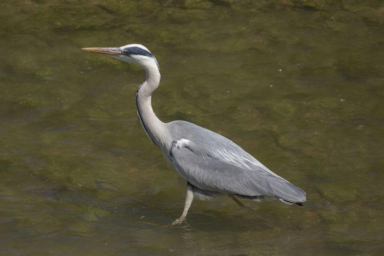 Heron Shallow