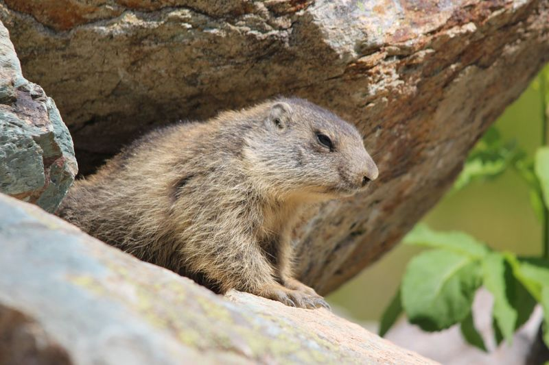 Alps French Alps Saint Sorlin D'Arves Animals In The Wild Nature One Animal Marmotte Alpes Savoie