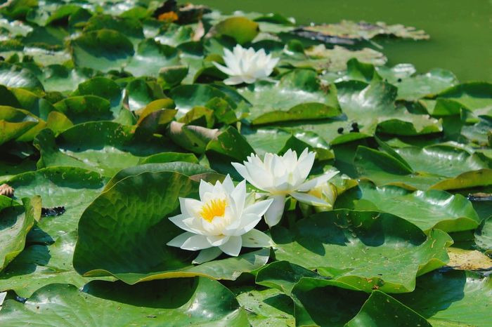 My first photo taken by new camera Nature Leaf Water Flower Green Color Lily Pad Lotus Floating On Water Freshness Beauty In Nature Water Lily Nature