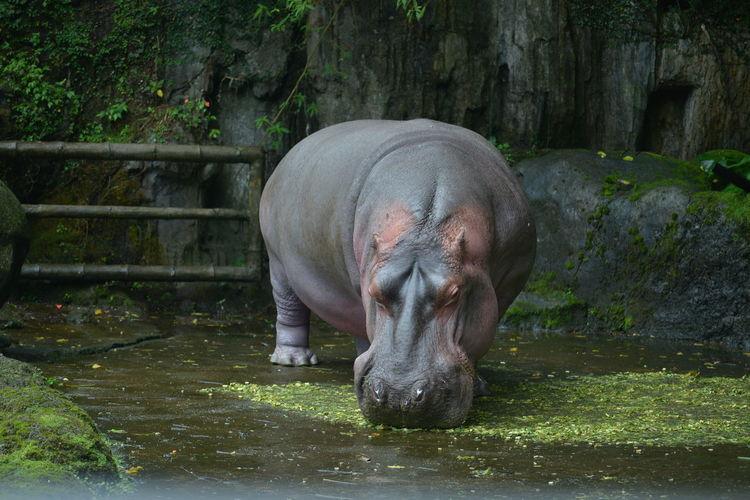 hippo Natgeo