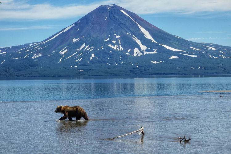 Bear in lake against mountain during winter