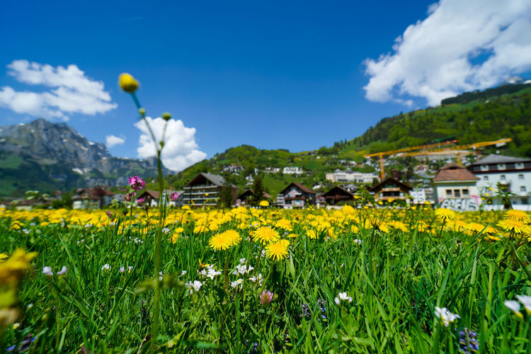beautiful engelberg town and village Field Flowers Mount Titlis Switzerland🇨🇭 Vacations Alps Architecture Beauty In Nature Building Exterior Built Structure Cloud - Sky Engelberg Environment Field Flower Flower Head Flowering Plant Freshness Green Color Growth Land Landscape Lavender Mountain Nature No People Outdoors Plant Rejuvenation River Rotary Scenics Scenics - Nature Sky Snow Sunny Day Travel Destinations Truebsee Yellow