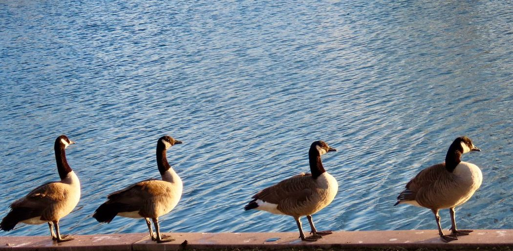 """All your ducks in a row""! Canada geese all lined up water ripples Animal Wildlife Animal Themes No People"