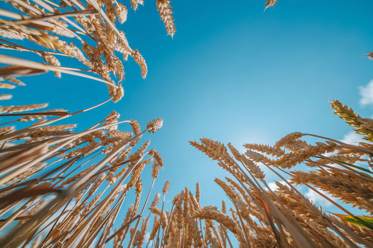 Low angle view of crops at farm against blue sky