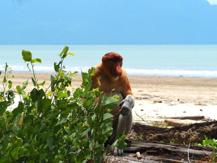 Proboscis monkey in the beach