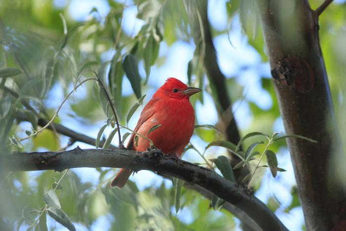 Beautiful summer tanager in Arizona Feathered Friends Featheredbeauties Red Redhead Birds Of EyeEm  Best Of EyeEm Bestoftheday EyeEm Best Shots EyeEm Nature Lover Canon 5d Mark Lll Canon Fine Art Nature Birds Summer Tanager Red Bird Idyllic Beautiful Beautiful Nature Scarlet WOW