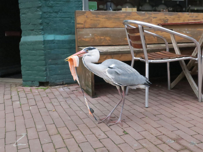 heron eating salmon on the market Bird No People Day Footpath One Animal Heron Bird Blue Heron Outdoors Paving Stone Seat Architecture Terraced Field