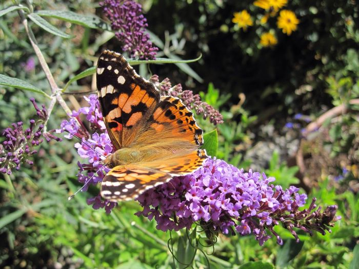 Painted Lady Painted Lady Butterfly Butterfly Vanessa Cardui Butterflies Butterfly Collection Nature's Diversities Natures Diversities Nature Nature On Your Doorstep Nature Photography Flowers, Nature And Beauty