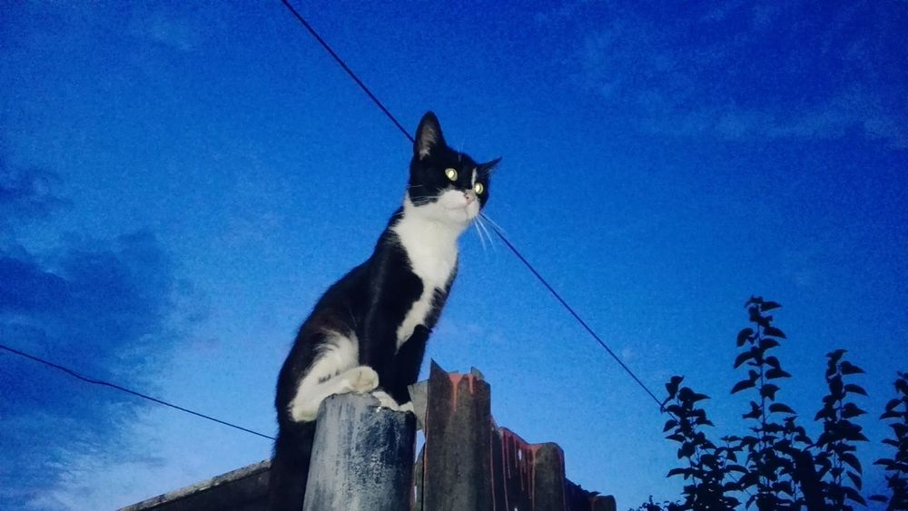 Low Angle View Blue Sky No People Nature Cat Cats Of EyeEm Showcase: June Ionita Veronica Eyeem Market @WOLFZUACHiV Veronica Ionita Showcase: 2017 Huaweiphotography Wolfzuachiv On Market Edited By @wolfzuachis Wolfzuachis Cat Uppon Blue Sky Resist Rezist Romania Cute Cat Black And White Cat Outdoors