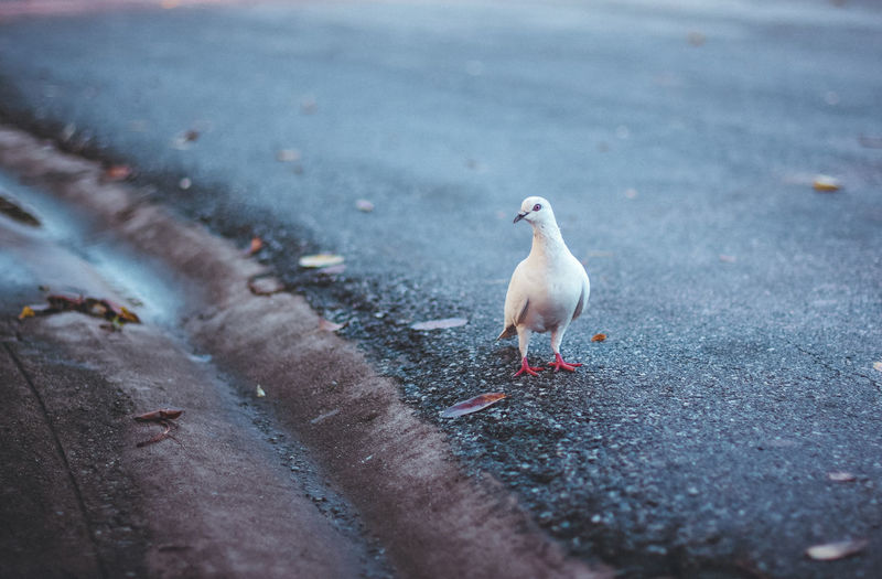 High angle view of pigeon perching on roadside