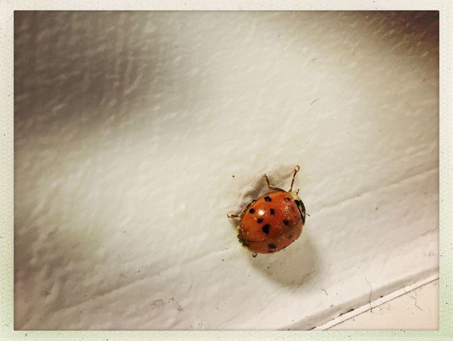 First #ladybird of the year. #firstsignofspring #spring #bug in #office #marienkäfer Indoors  Animal Themes One Animal Wildlife High Angle View No People Close-up Ladybug Tiny