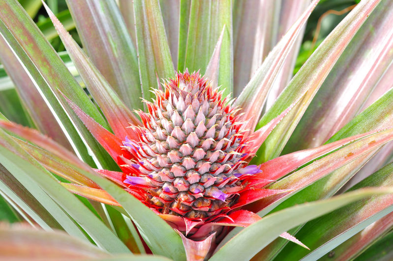 Young pineapple Thai Fruit Fruits Food Nature Agriculture Beautiful Pineapple Young