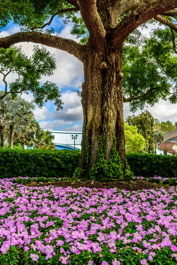 Disneyland Purple Flowers On The Groun Tree Clouds And Sky Colorful Sky Trunk Vibrant