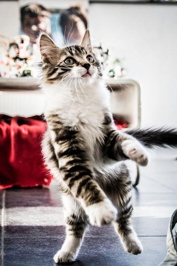 Cat looking at camera at home
