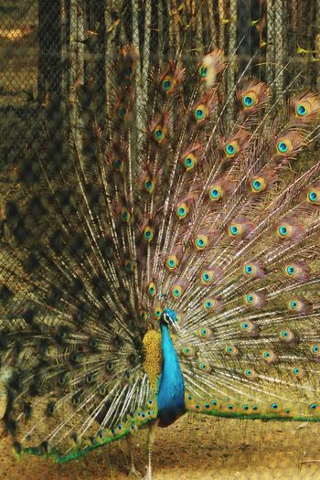 Peacock on land