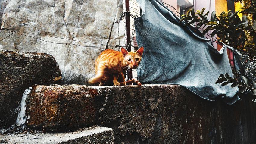 #cat Leopard Lion - Feline Tiger Undomesticated Cat Big Cat